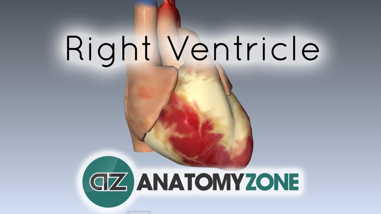Right Ventricle • Cardiovascular • AnatomyZone