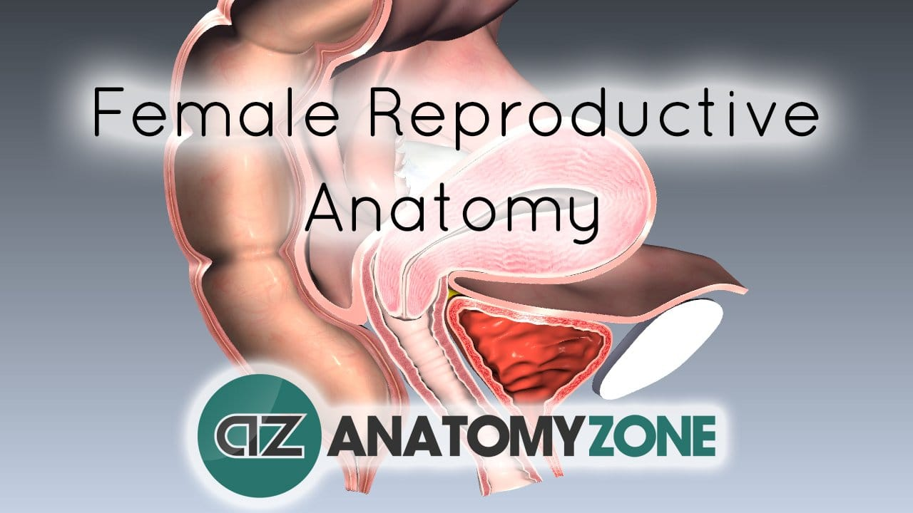 Introduction To Female Reproductive Anatomy Reproductive Anatomyzone