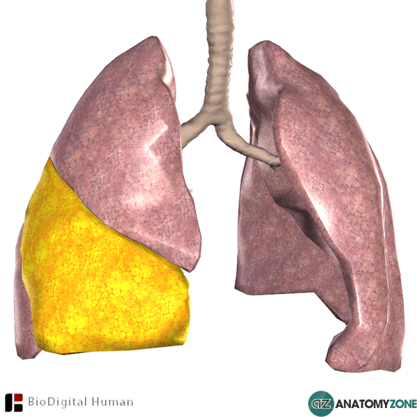 Middle Lobe of Right Lung • Respiratory • AnatomyZone