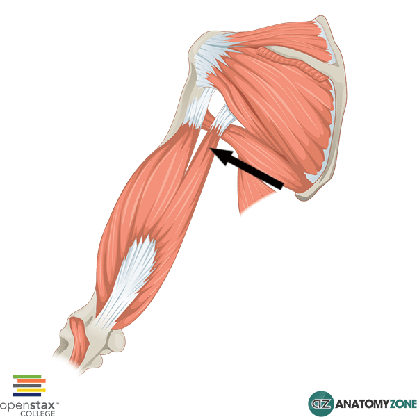 Long Head of Triceps Brachii • Muscular, Musculoskeletal • AnatomyZone