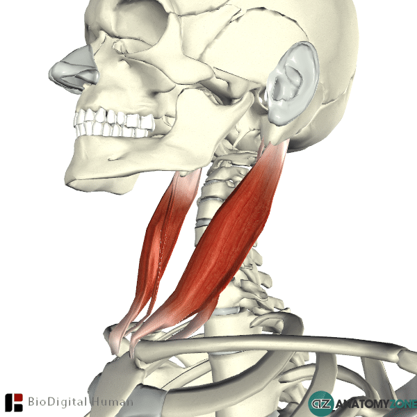 sternocleidomastoid muscle • muscular, musculoskeletal • anatomyzone, Human Body