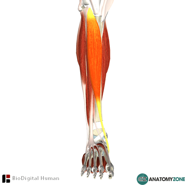 tibialis anterior • muscular, musculoskeletal • anatomyzone, Human Body
