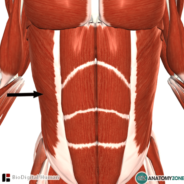 external abdominal oblique muscle • muscular, musculoskeletal, Human Body