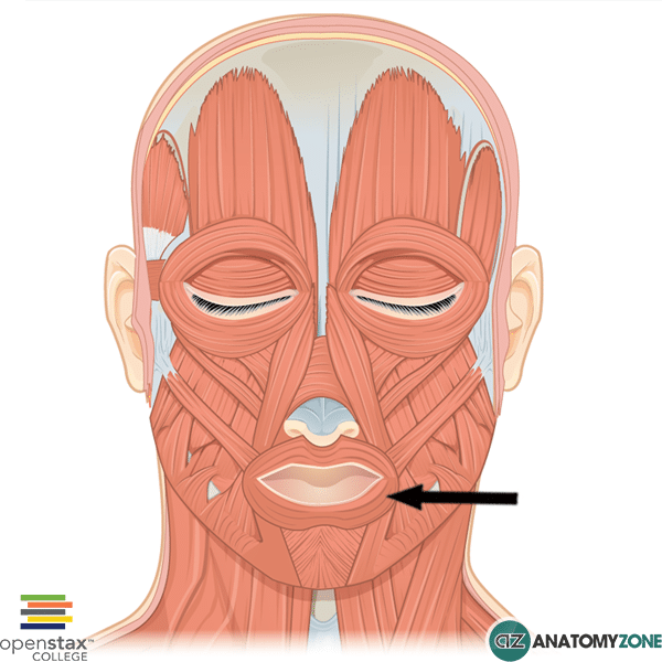 orbicularis oris muscle • muscular, musculoskeletal • anatomyzone, Human body