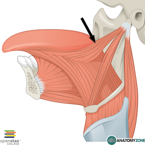 The muscle indicated is the styloglossus muscle .