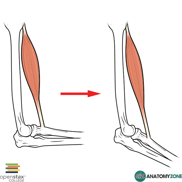 Eccentric Muscle Contraction Muscular Musculoskeletal Anatomyzone
