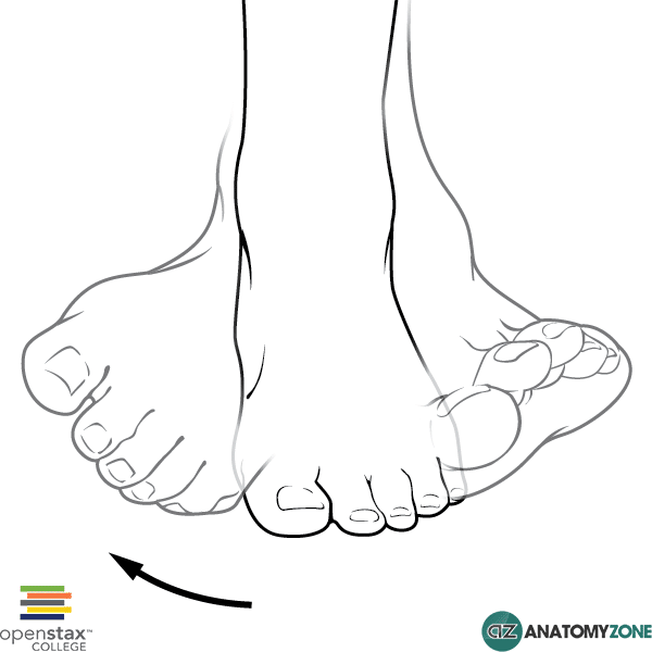 Inversion of the Foot • Musculoskeletal • AnatomyZone