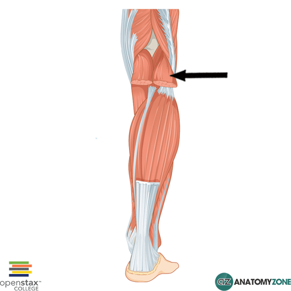 Lateral Head Of Gastrocnemius Muscle Muscular Musculoskeletal