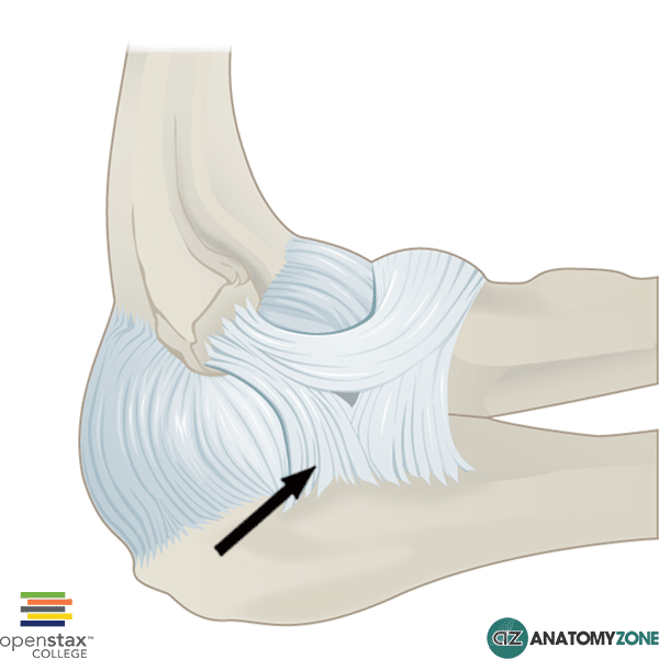 Radial Collateral Ligament Of Elbow Musculoskeletal Anatomyzone