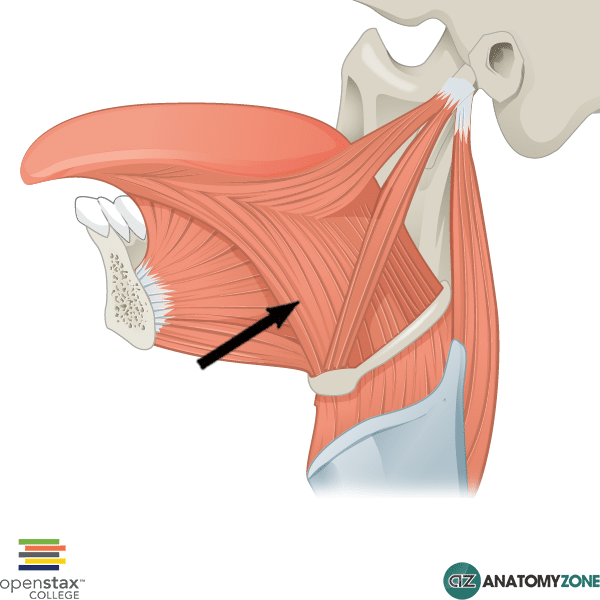 Hyoglossus Muscle Muscular Musculoskeletal Anatomyzone