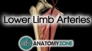 Lower Limb Arteries