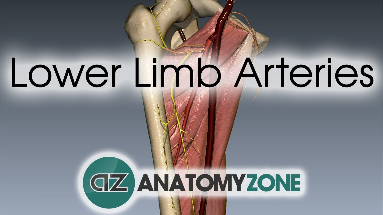 Lower Limb Arteries Cardiovascular Anatomyzone