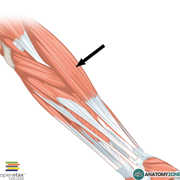... muscle of the forearm the brachioradalis muscle is one of the muscles