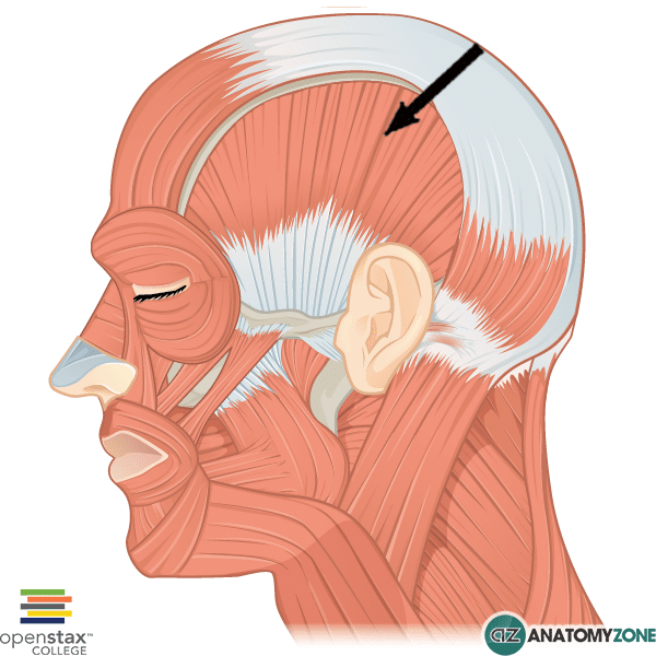 Temporalis Muscle • Muscular, Musculoskeletal • AnatomyZone