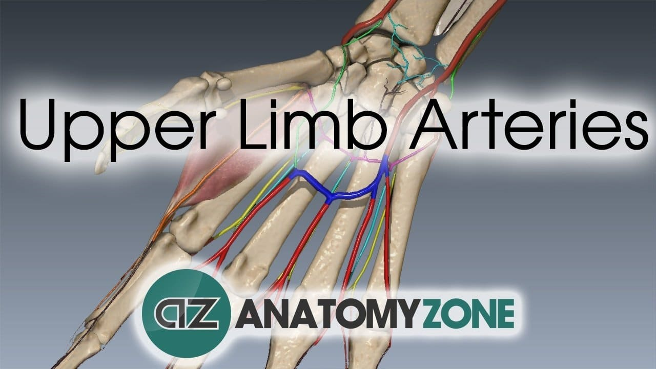 Hand And Wrist Arterial Supply Thumbnail