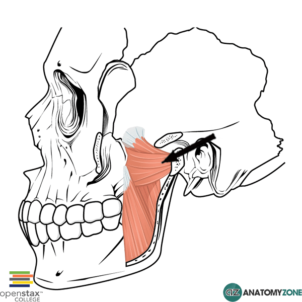 Lateral Pterygoid Muscular Musculoskeletal Anatomyzone