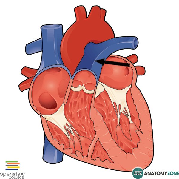 pulmonary trunk • cardiovascular • anatomyzone, Human Body