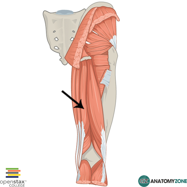 indicated is the semimembranosus muscle the semimembranosus muscle ...