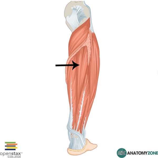 Tibialis Posterior Muscular Musculoskeletal Anatomyzone