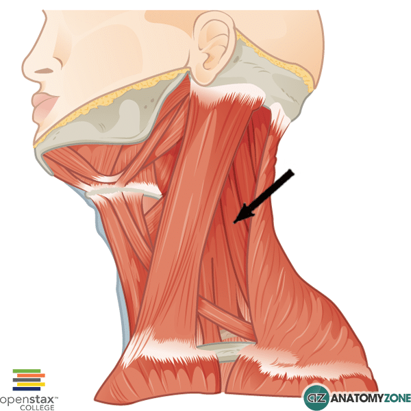 levator scapulae • muscular, musculoskeletal • anatomyzone, Human Body