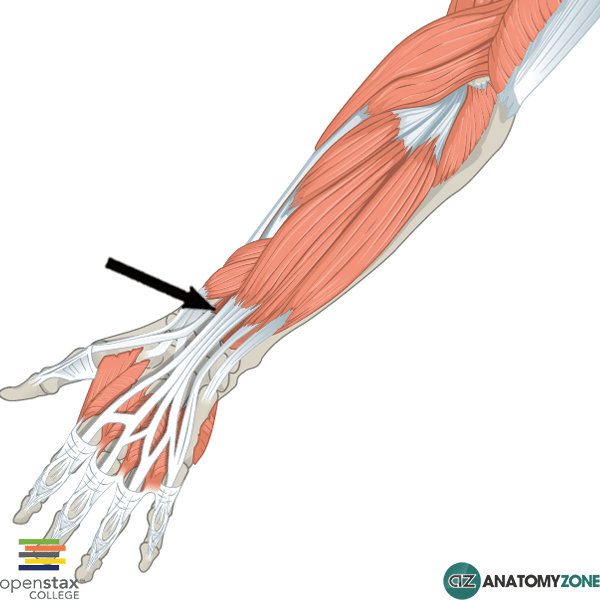... muscle of the posterior forearm the extensor pollicis longus muscle is