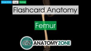 Femur Anatomy Flashcard