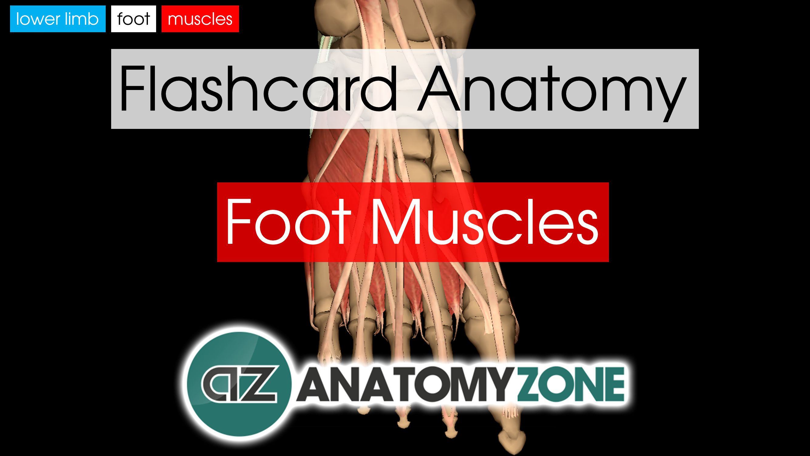 Foot Muscles | AnatomyZone