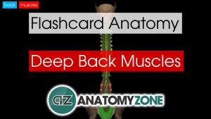 back muscles - deep - flashcard