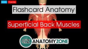 back muscles - superficial