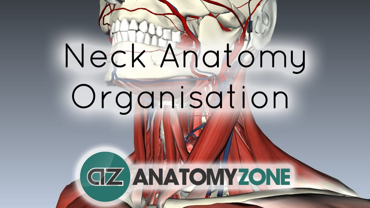 Neck Anatomy - Organisation of the Neck