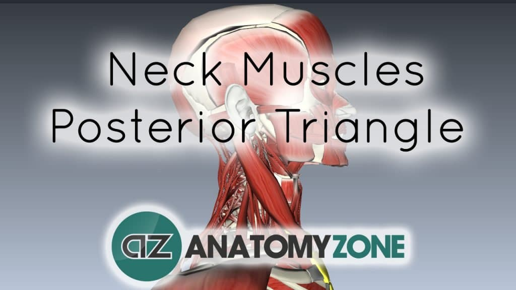 Neck Muscles Anatomy - Posterior Triangle, Prevertebral and Lateral Muscles