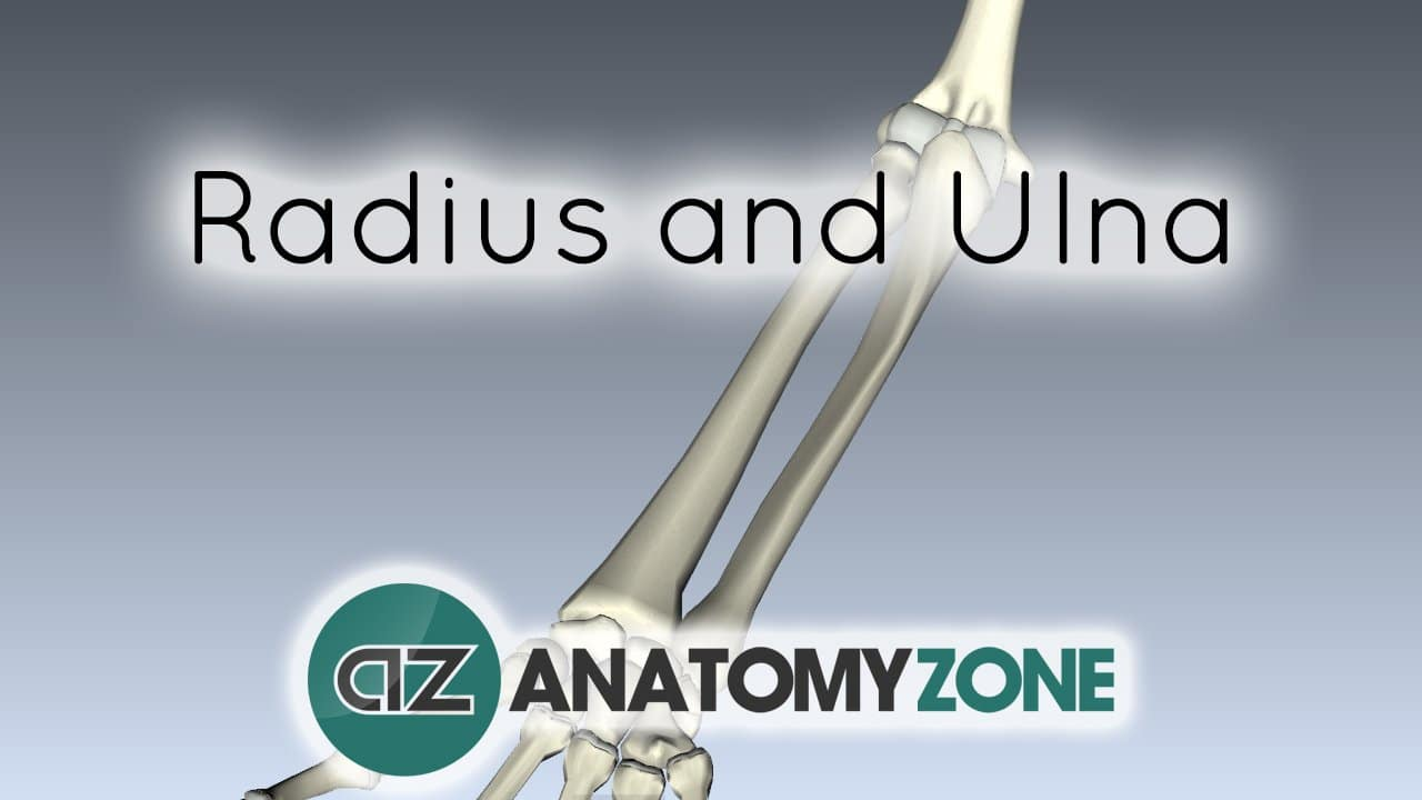 Radius and Ulna