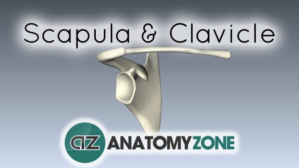 Scapula and Clavicle - Shoulder Girdle
