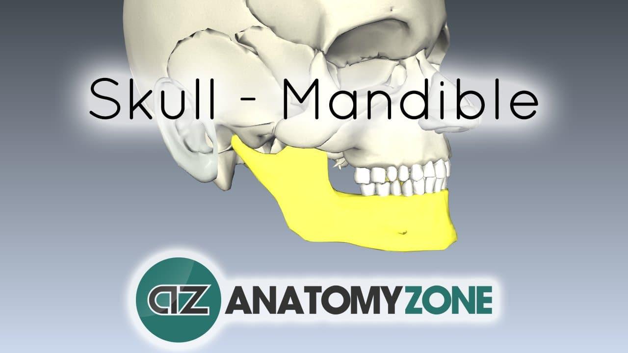 Skull tutorial - Mandible