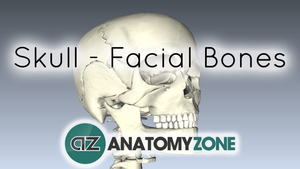Skull tutorial - Bones of the facial skeleton