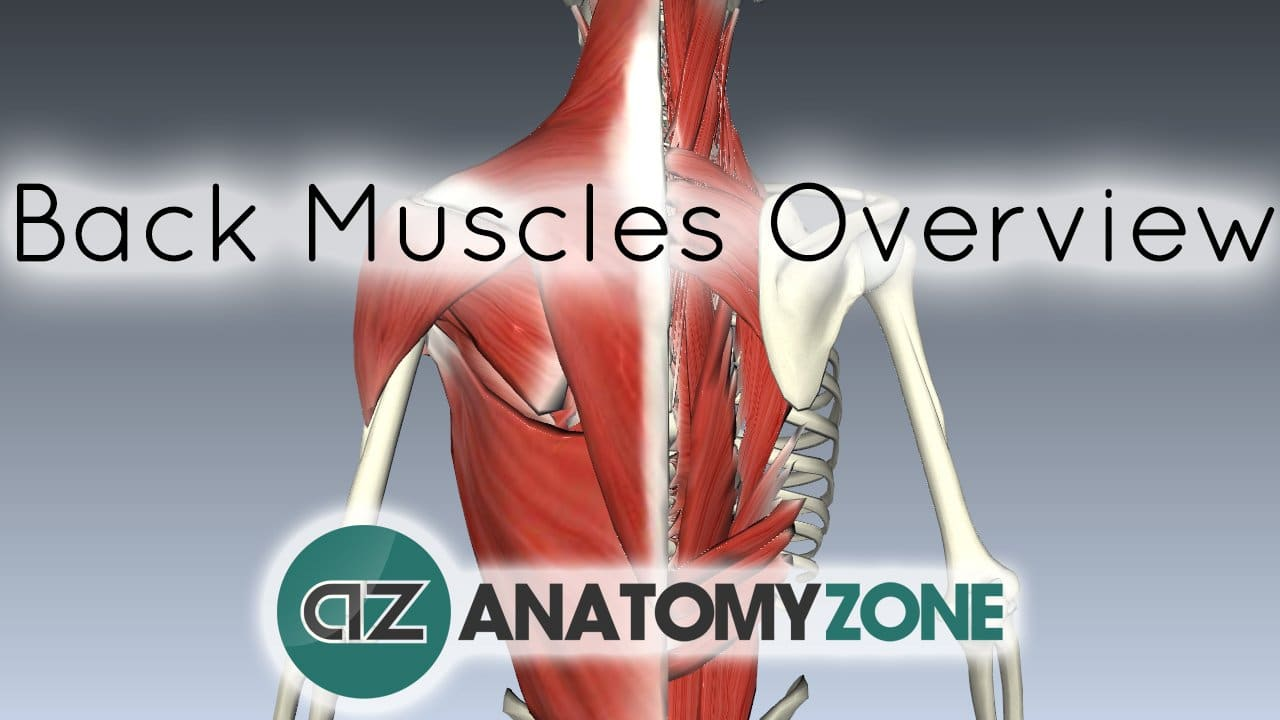 back muscles overview thumbnail