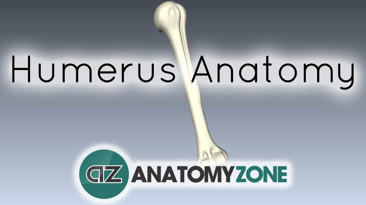 Features of the Humerus