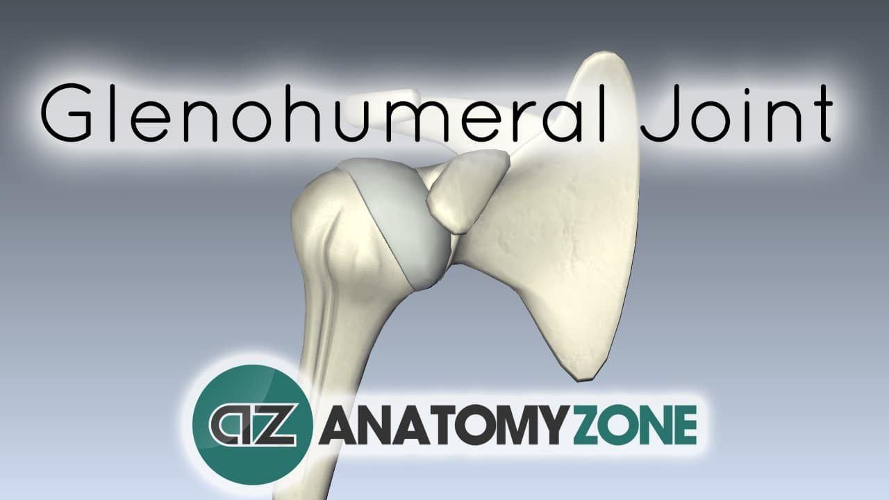 Shoulder Joint - Glenohumeral Joint