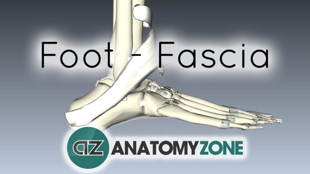 Fascia and Retinacula of the Foot
