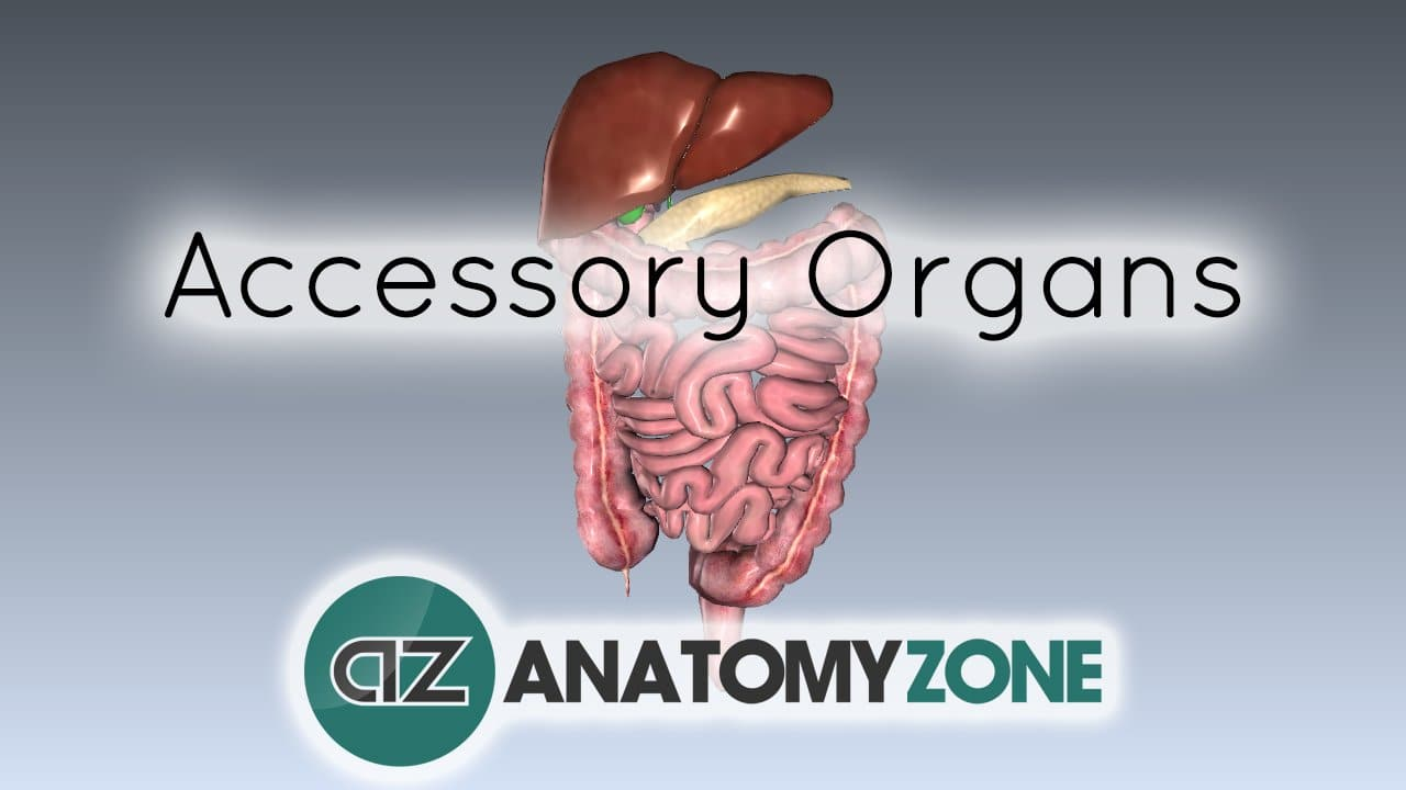 Digestive System Basics - Accessory Organs