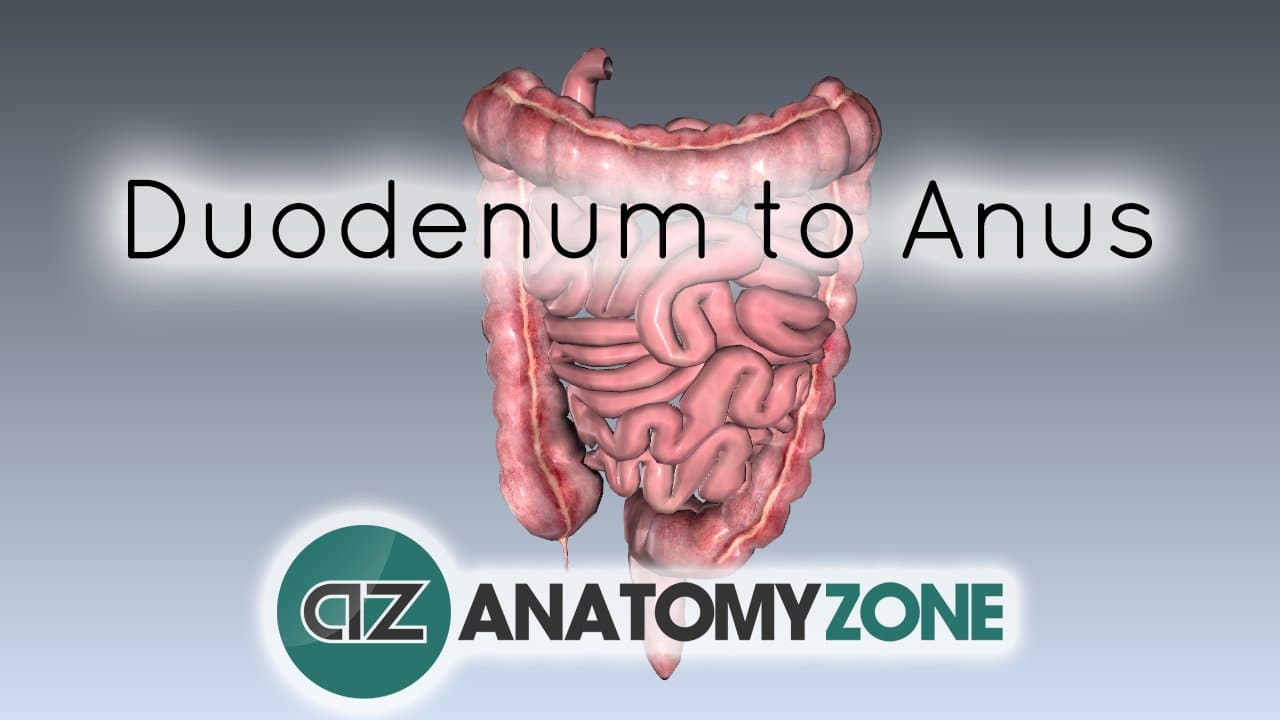 Digestive System Basics - Duodenum to Anus