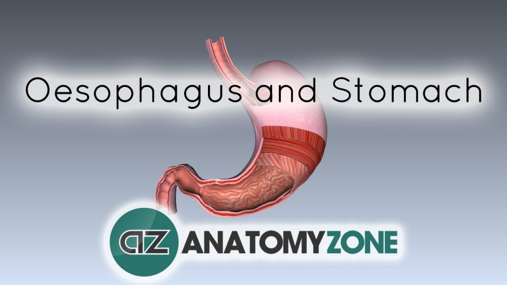 Digestive System Basics - Oesophagus and Stomach