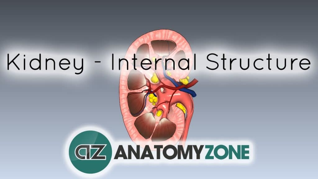 Internal Anatomy of the Kidney