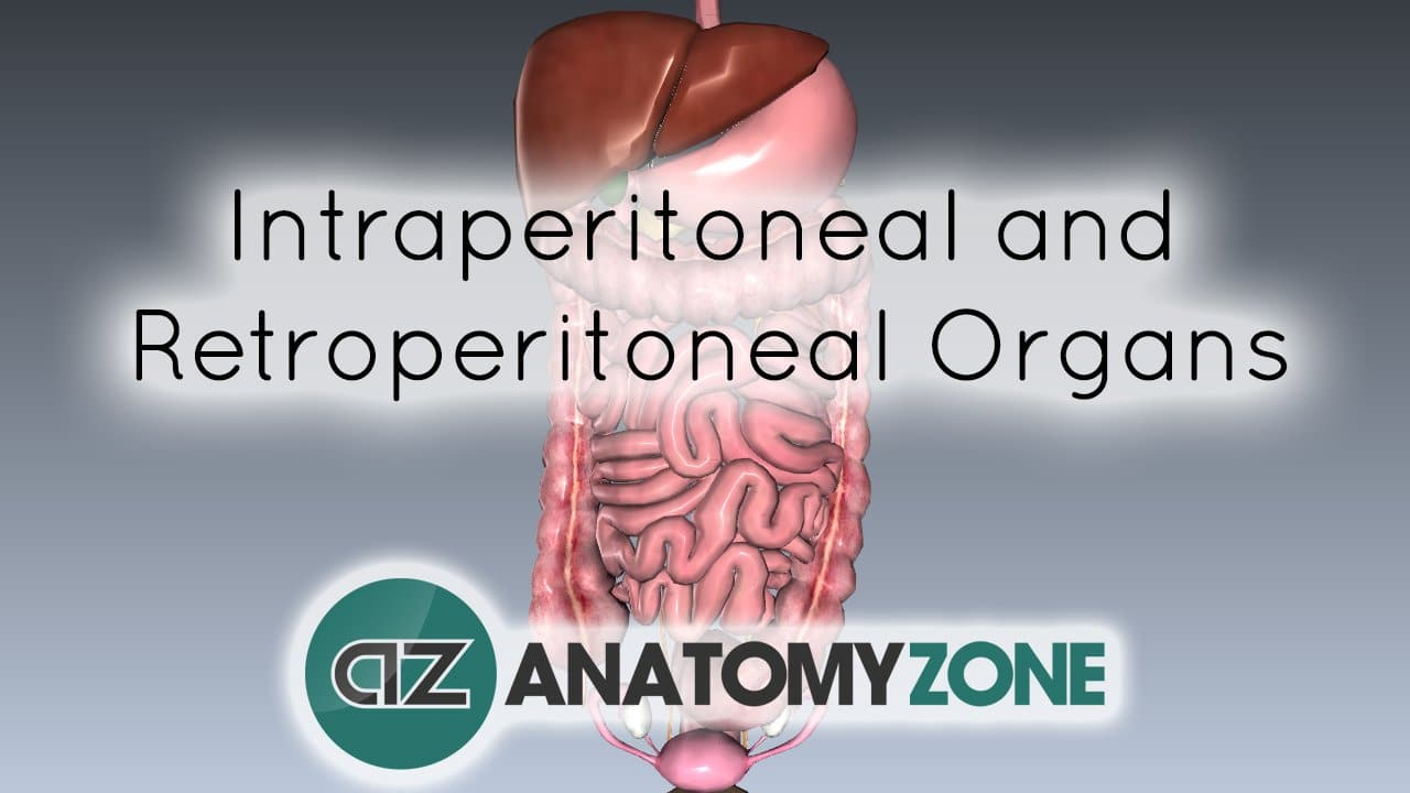 Peritoneal Cavity - Part 4 - Intraperitoneal and Retroperitoneal Organs