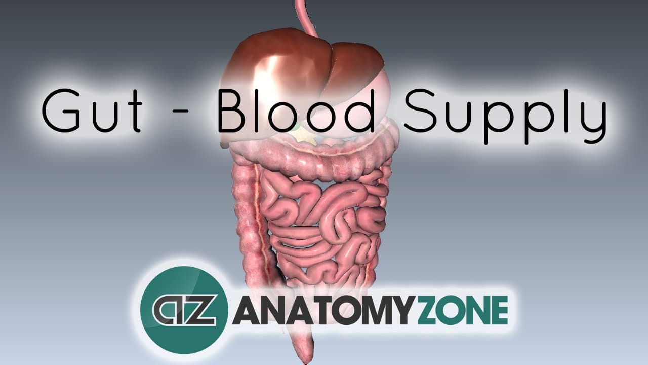 Blood Supply to the Gut