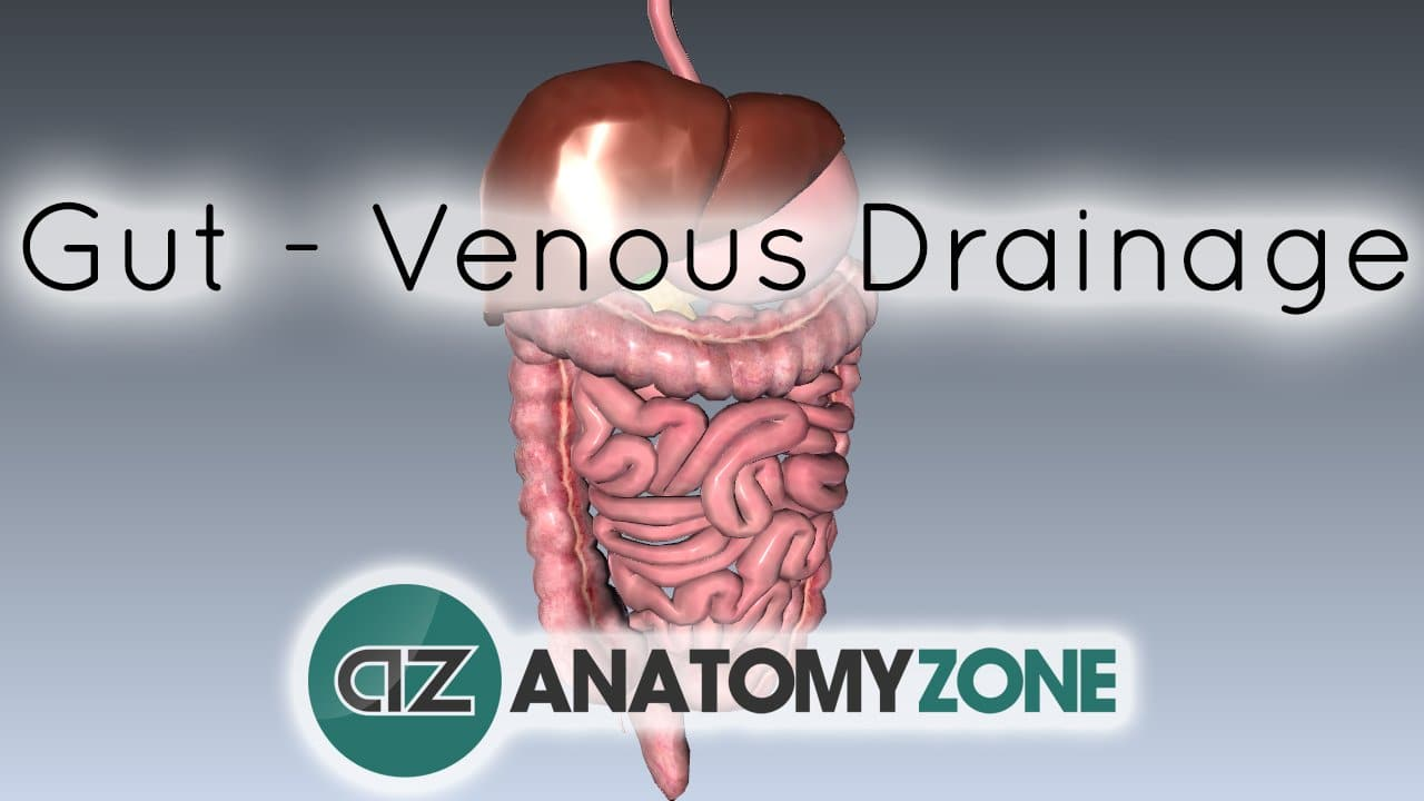 gut - venous drainage