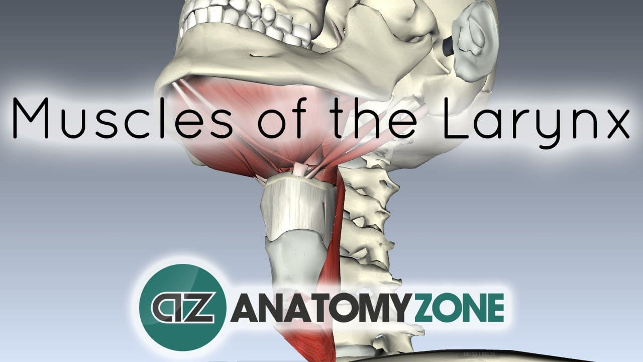 Introduction to Muscle Actions of the Larynx
