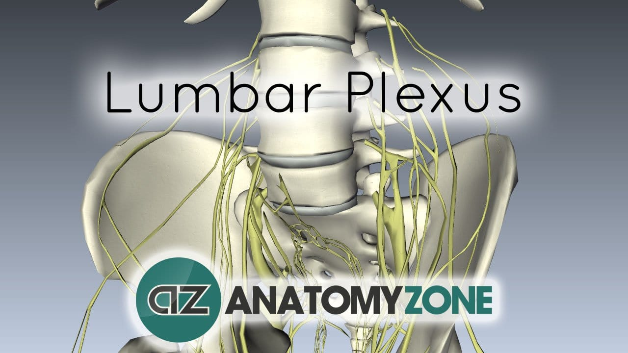 Lumbar Plexus - Structure and Branches - Anatomy Tutorial