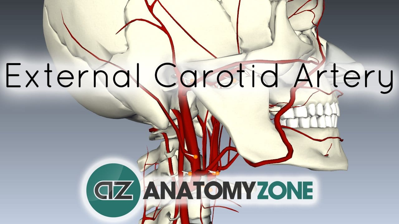 Branches of the External Carotid Artery
