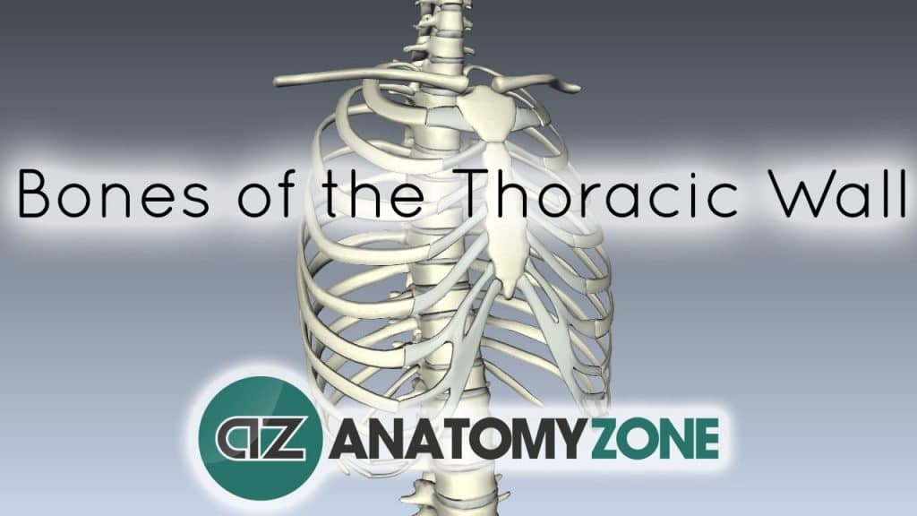 Bones of the Thoracic Wall